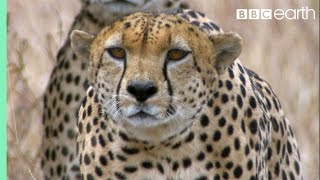 Three Cheetahs Vs Ostrich - Life - BBC Earth