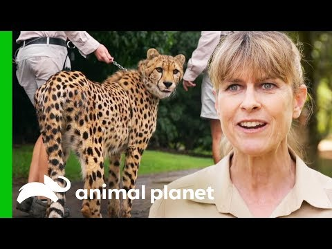 Cheetah Cubs Introduced To Each Other For The First Time! | Crikey! It's The Irwins