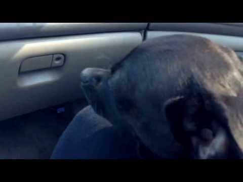 My dog Raven loves car rides. she's falling asleep