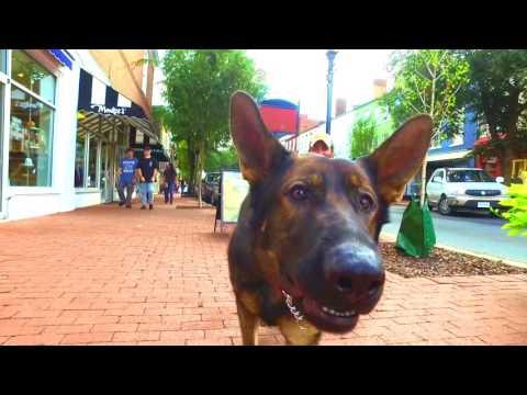 8-Month Old German Shepherd, Prime!  German Shepherd Dog Trainers | Off Leash K9