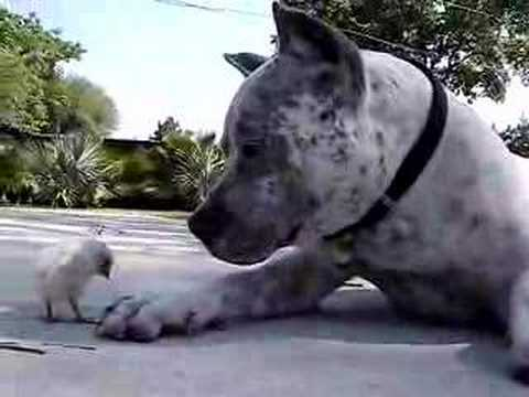 Pit Bull Sharky and Chick - BIG LOVE! www.HelensPets.com