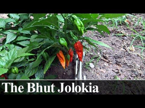 Highlight: Bhut Jolokia (the Ghost Pepper)