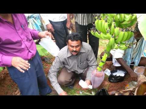 Banana - ICAR-IIHR technologies for enhanced  yield