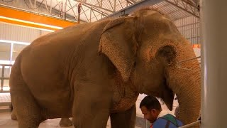 67-Year-Old Abused Elephant Gets Treatment at New Hospital