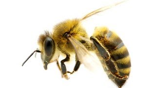 Download How to Treat Bee Stings at Home - Stung By Bee Treatment Video