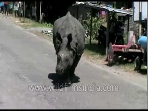 Rhino blocks highway after being pushed out of Kaziranga by Assam floods