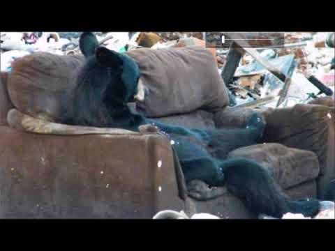 Black Bear Knows How To Use A Couch  Dump Picture Taken