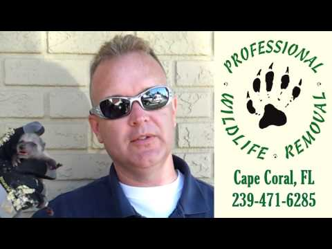 Raccoon removal by Professional Wildlife Removal