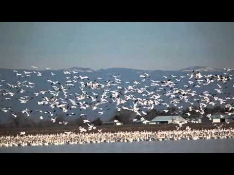 Sounds of the Snow Geese