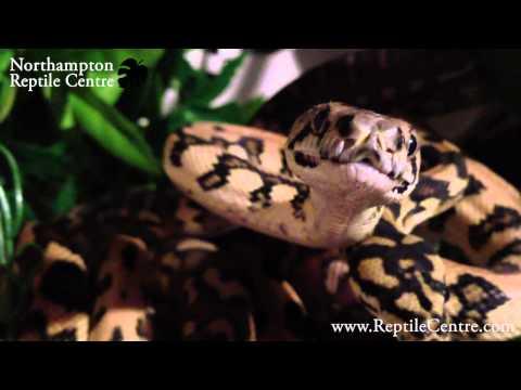 Some of Cameron's Carpet Python Morphs