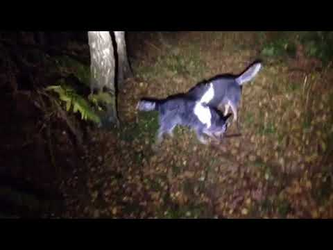 Dogs at night