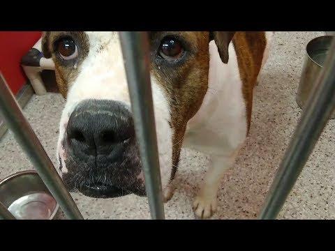 Pima Animal Care Center 5-24-18 Doggie Adoptable - Starla 5 Yr Old Female Animal#630370
