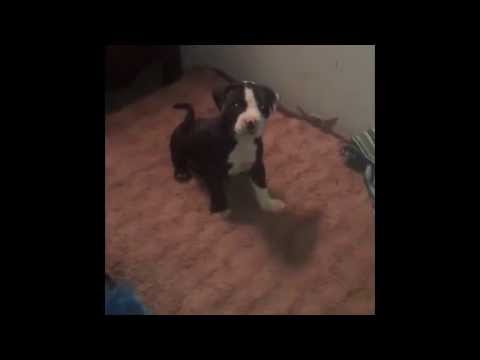 Pit Bull Puppy Can't Get on the Bed