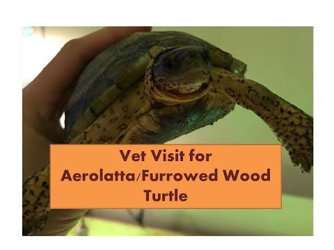 Furrowed wood turtle after a vet visit for a bacterial infection