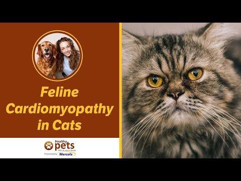 Feline Cardiomyopathy in Cats