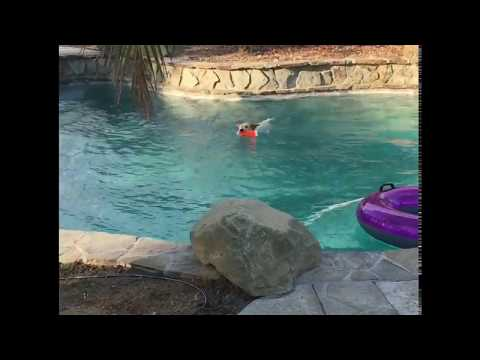 Australian Cattle Dog puppy loves the water