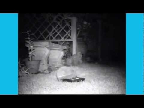 Hedgehogs in OUR garden