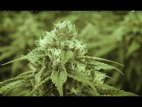 CannTrust Highly Efficient Growing Operation
