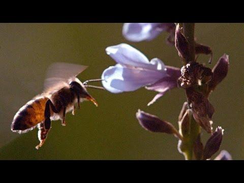 Why Puerto Rico's Killer Bees Stopped Killing