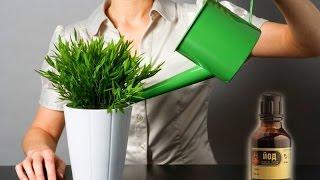 Йод для комнатных растений как подкормка. Когда нельзя удобрять растения