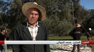 سيدي بوصبار.. منطقة ريفية جبلية في المغرب تعتمد كليا على زراعة أشجار الزيتون