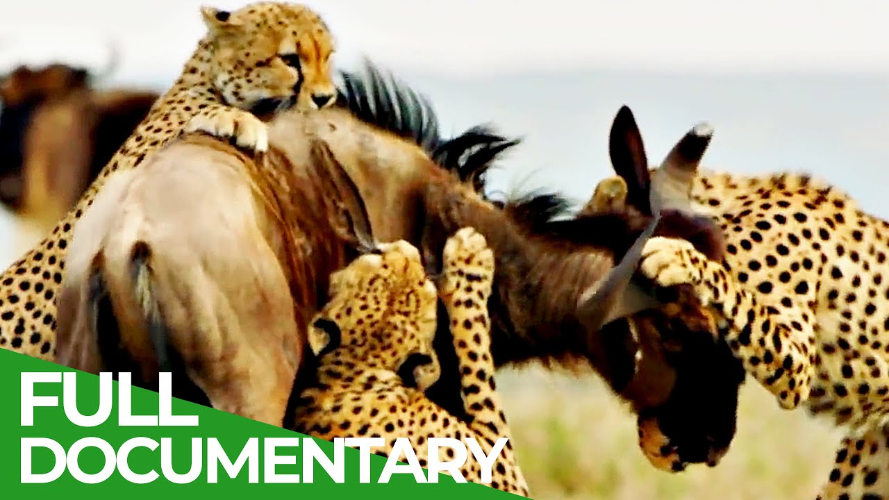 Cheetahs: Fastest Hunters in Africa | Free Documentary Nature