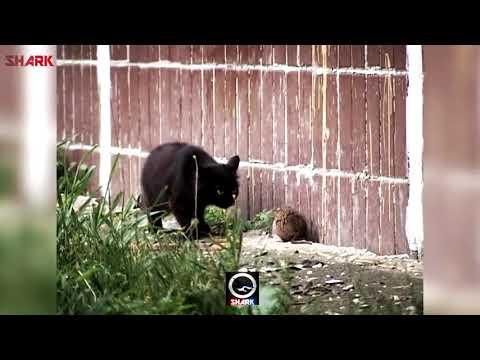 HoodRat Vs Ghetto Cats (Funny Voiceover)