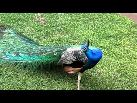 Make Peacock spread his feather!!!