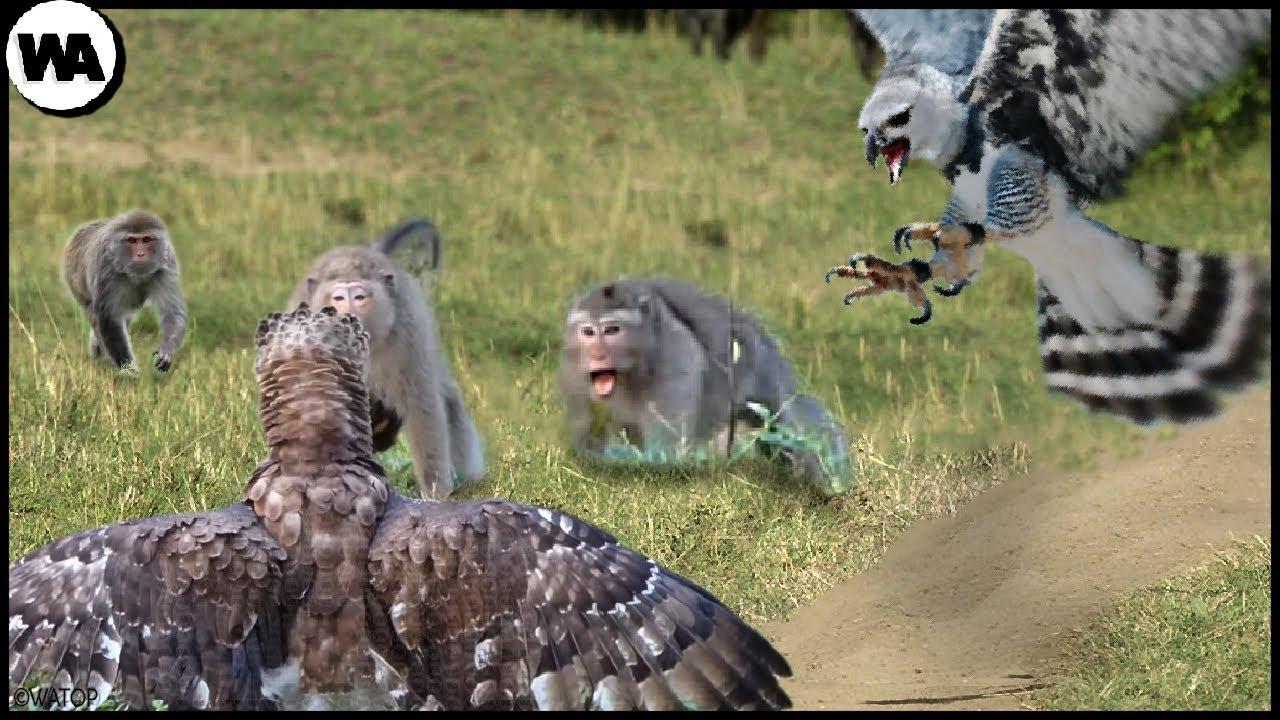 Así es Como dos Águilas Arpías Casi Destruyen la Isla de los Monos