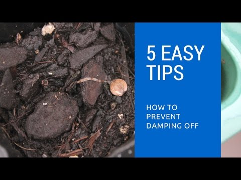 How to cure damping off in young seedlings