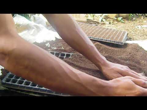 Cara Membuat persemaian tanaman Cabe (cabai) plus fungisida organik trichoderma