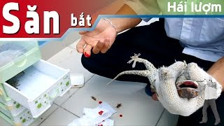 Bị tắc kè cắn sẽ như thế nào??? | Gecko bite