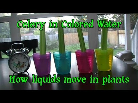 Kindergarten Core Science Color changing plants Celery
