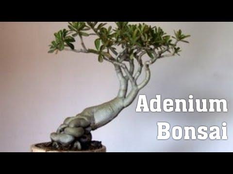 Adenium Bonsai | How to make adenium bonsai