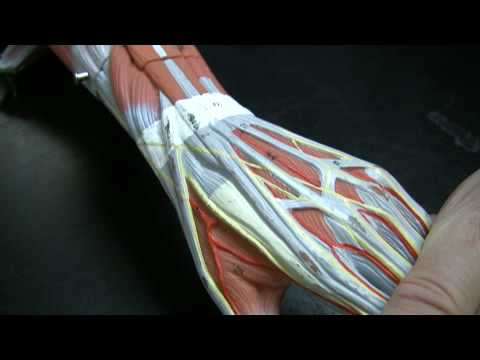 Muscles and Tendons of the Forearm pt 1