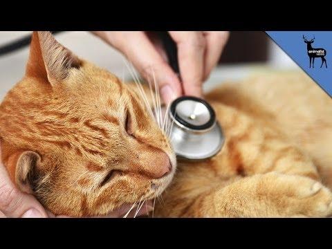 Cat Heart Disease