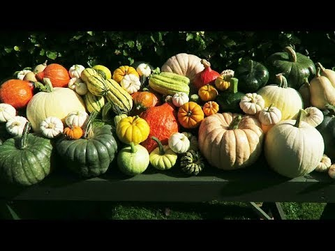Harvested Pumpkins And Squashes   Prepared Raspberry Beds