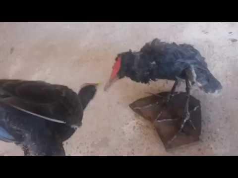 Wow...burung ayam ayam dh dapat 1 ekor. បាន មួយ ហេីយ បងប្អូន សត្វធ្លំ
