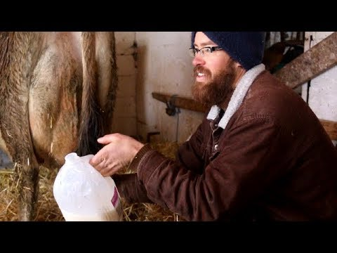 Cow-milking epiphany?