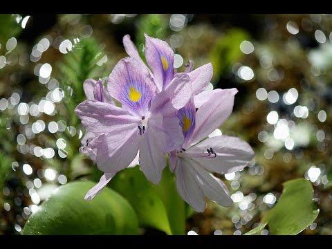 Water Gardening with Gail: Algae Bloom