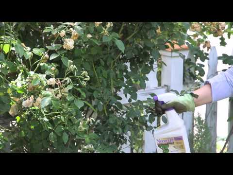 How to Get Rid of Powder Mildew on Roses : Garden Space