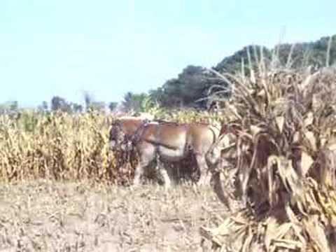 Harvesting corn with Belgian horses pulling a corn binder