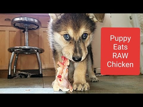 This is What Happens When You Feed RAW Chicken to Puppies!!!
