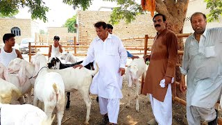 achchi nasl ke Gulabi Bakre - گوٹ فارم محمدصابر03354746487 Bakra