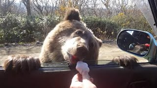 Motorists Feed Cookies to Hungry Bear That Approached Their Car