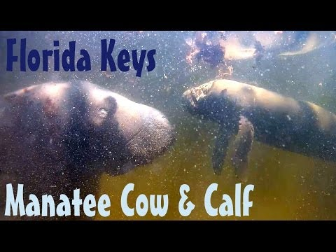 Fish Eatting Manatee Cow & Calf Florida Keys