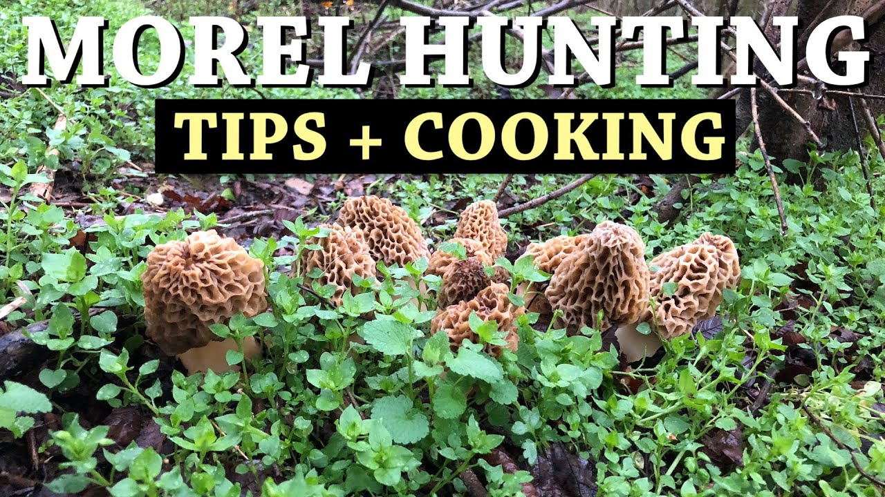 PICKING and COOKING MOREL MUSHROOMS + How to Find Morels