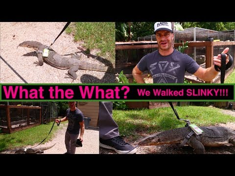 How to WALK a GIANT DRAGON LIZARD!