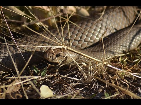 World's 2nd most venomous land snake digging a hole in our garden ( Australia, Eastern Brown Snake)