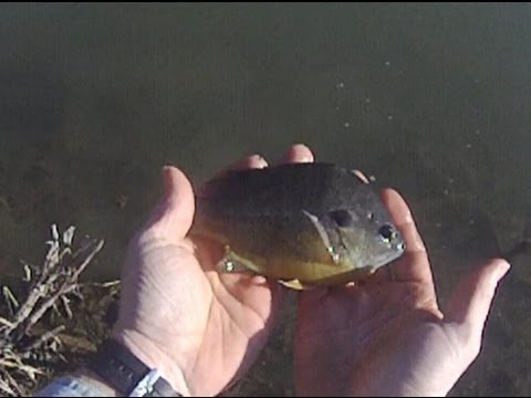 Stocking fish : Large Hybrid Bluegill in my pond
